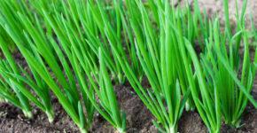 vyrashhivanie-zelenogo-luka