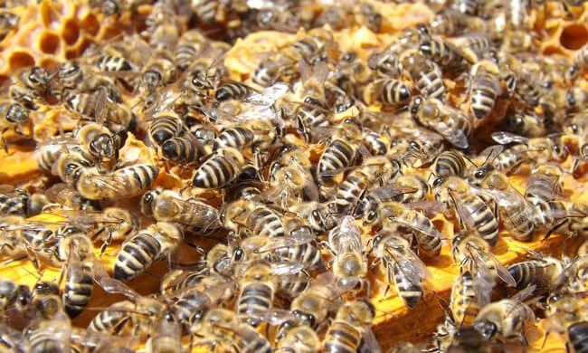 Изображение - Разведение пчел как бизнес razvedenie-pchel