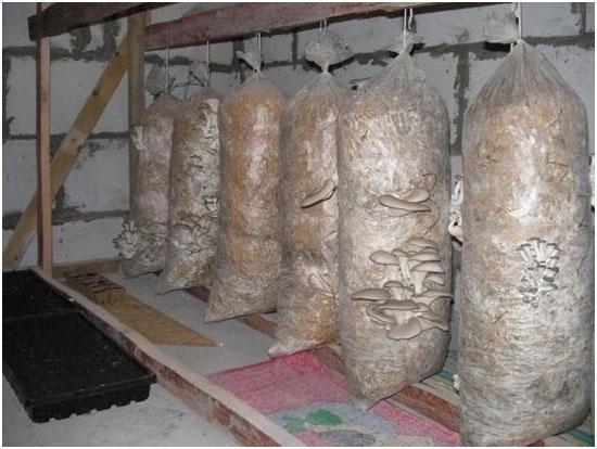 gribnye-plantacii-veshenok