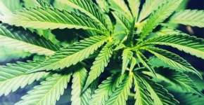 kak-vyrastit-marihuanu-v-domashnih-uslovijah