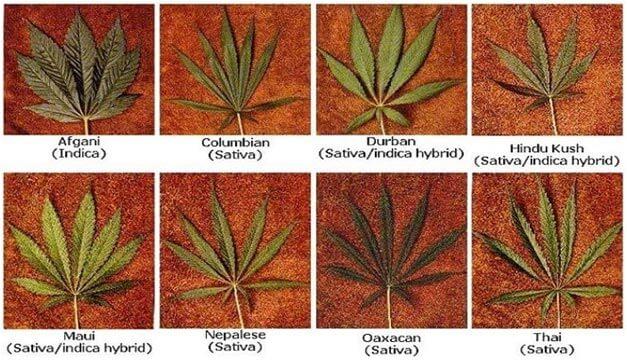 vidy-marihuany